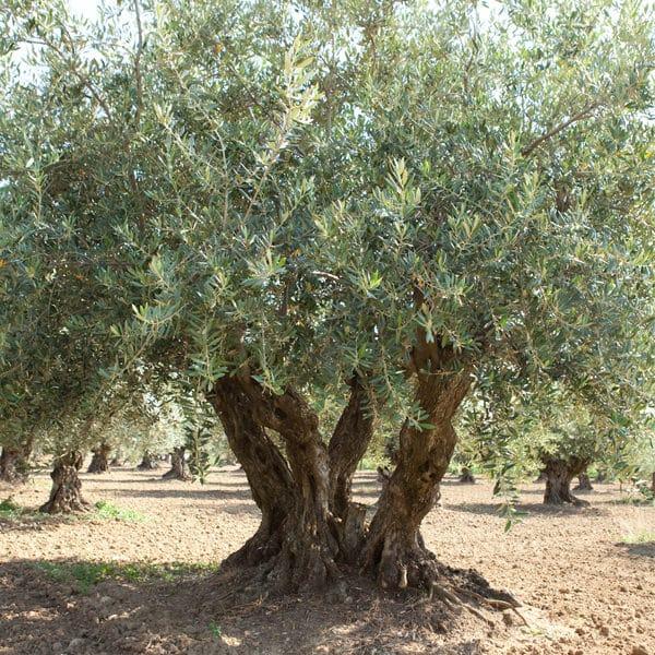 Best floraison olivier jardin gallery design trends 2017 for Au jardin des oliviers